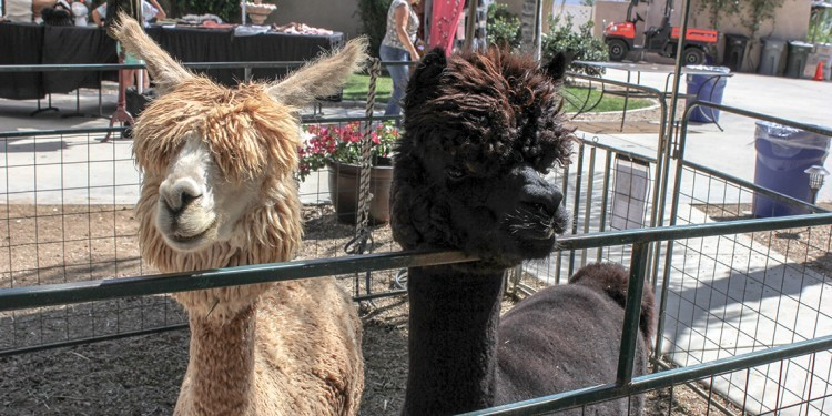 Alpacas saying hello to visitors