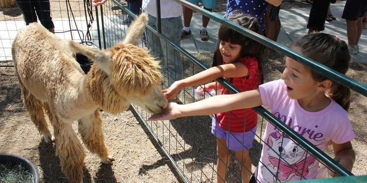 Kids feed an alpaca