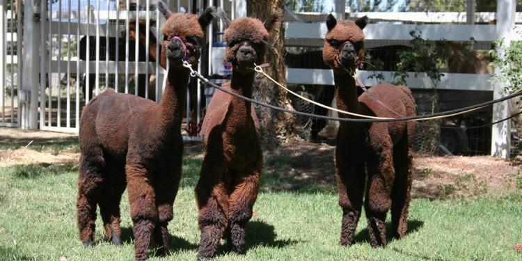 Open Ranch Day at the Alpaca Hacienda