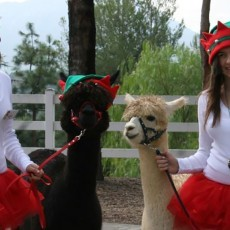 Alpaca Hacienda Holiday Open Ranch Day