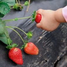 U-Pick Berries Provide Family Fun on the Farm